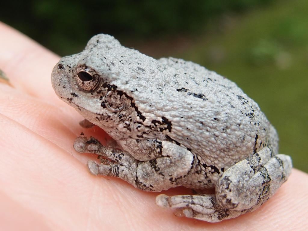 Gray tree frog - photo#3