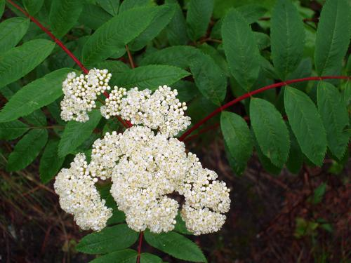 North uncanoonuc american mountain ash flower mightylinksfo