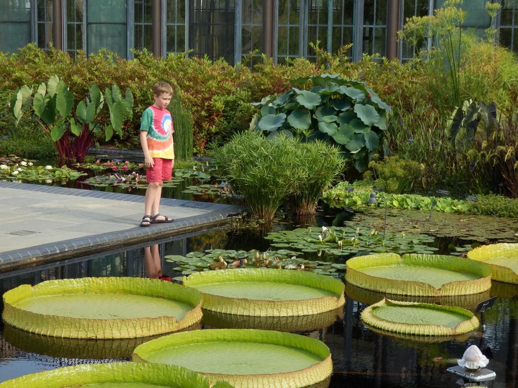 Visitor With Giant Lily Pads In The Conservatory At Longwood Gardens In  Pennsylvania